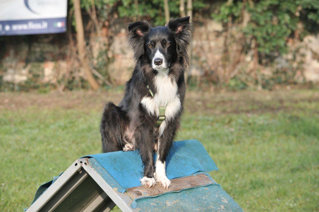 mobility dog border collie brescia
